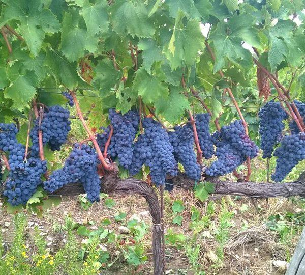 Albatreti grappoli 2