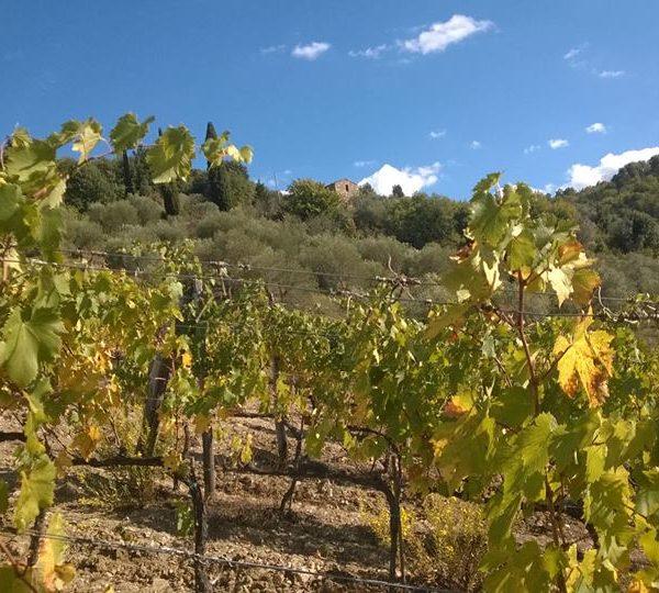 Albatreti vigne 2